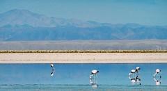 Flamingos chilling out #flamingo #atacama #atacamadesert #roadtrip #bluesky (vivistrachi) Tags: flamingo bluesky roadtrip atacama atacamadesert