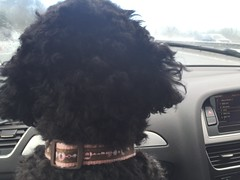 Lucy the navigator, Easter Sunday in Cirencester - March 2016 (Pub Car Park Ninja) Tags: uk england dog poodles dogs easter march cotswolds gloucestershire poodle bullring cirencester romanamphitheatre 2016 fintan