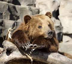Easter Sunday March 27th (LeeLee 3680) Tags: detroitzoo grizzlybear