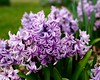 Hyacinths (David S Wilson) Tags: flowers england flower floral ely cambridgeshire flowersplants 2016 olympuspenf davidswilson