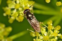 Cheilosia sp. Hembra (Jess Tizn Taracido) Tags: syrphidae diptera cheilosia eristalinae cyclorrapha