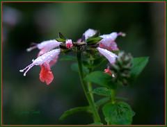minor details.... (Baja Juan) Tags: flowers plants blur green floral wednesday garden happy drops blurry backyard bokeh baja due moisture hbw bokehing