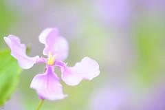 20160403-DSC_5406.jpg (d3_plus) Tags: sky plant flower macro nature rain japan walking nikon scenery waterdrop bokeh hiking drop daily rainy bloom   wildflower tamron  kanagawa   aftertherain dailyphoto    thesedays tamron90mm sagamihara   dogtoothviolet       shiroyama   erythroniumjaponicum   tamronmacro  tamronspaf90mmf28 tamronspaf90mmf28macro11 d700 172e  tamronspaf90mmf28macro nikond700  spaf90mmf28macro11 172en dogtoothvioletvillage
