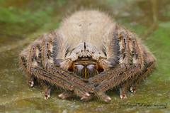 huntsman spider (zaidirazak) Tags: macro nature closeup spider wildlife arachnid malaysia heteropodasp zaidirazak