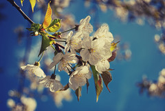 Spring (Sareni) Tags: blue light white colors leaves vintage spring branches slovenia list slovenija aprile mb maribor twop prolece boje 2011 cpb svetlost lisce cvet sareni