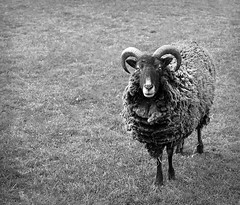 DSC_0499 (abi.rayner) Tags: blackandwhite nature monochrome animal photography photo sheep farm ram livestock tonal