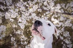 (Katarina Drezga) Tags: pets dogs animals spring perros springtime dogphotography petphotography dogoargentino nikkor1855mm nikond3100