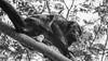 Show- Off (Oliver Leveritt) Tags: blackandwhite nature monochrome monkey costarica bigma balls testicles cojones monocongo gonads mantledhowler sigmabigma sigma50500mm nikond90 sigmaapo50500mmf463exdghsm oliverleverittphotography