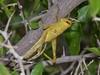 Schistocerca (carlos mancilla) Tags: insectos grasshoppers ninfas nymphs saltamontes chapulines schistocerca olympussp570uz