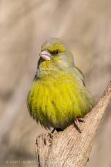 Greenfinch (Carduelis chloris) (Linda Martin Photography) Tags: uk nature birds wildlife ngc hampshire greenfinch carduelischloris coth blashfordlakes canon5dmarklll