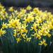 A+panic+of+daffodils