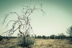 IMG_5612 (gaujourfrancoise) Tags: nt australia downunder northernterritory australie kakadunationalpark deadtrees arbresmorts gaujour