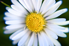 Daisy (cchana) Tags: flowers plants white flower nature yellow petals spring blossom depthoffield growth daisy nectar growing pollen