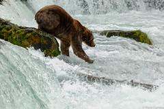The attack!! (Paco Conesa) Tags: naturaleza water alaska fauna oso bears paco 2015 salvaje conesa