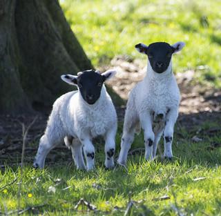 Scottish Blackface lambs ~ Explored