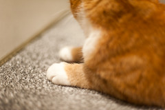 Day Seventeen / Year Five. (evilibby) Tags: cat carpet paw fluffy paws gingercat project365 barnabee