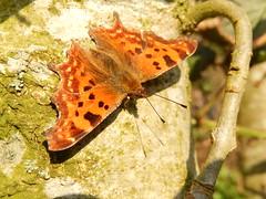 Gehakkelde aurelia (Polygonia c-album) (Frank Berbers) Tags: macro butterfly insect lepidoptera papillon gehakkeldeaurelia comma vlinder nymphalidae polygoniacalbum cfalter robertlediable tagfalter edelfalter fleckenfalter nikoncoolpixs9500