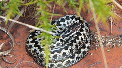Adder (Vipera berus) (Nick Dobbs) Tags: reptile snake viper adder vipera berus