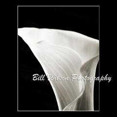 Calla Lily (wildlifephotonj) Tags: flower lily fineart lilies callalily fineartphotography callalilies callalillies flowerphotos fineartphotographs fineartprints flowerprints