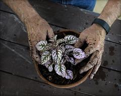 Green Fingered (Bamagirl7) Tags: hands gardening pottedplant greenthumb pottingtable 116in2016 topdownstilllife