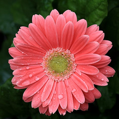 Pink Daisy Macro With Water Drops (hbickel) Tags: pink flower macro canon pad photoaday daisy waterdrops canont6i