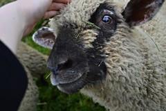 _DSC0325 (Linda Skare) Tags: smile sheep jelgava
