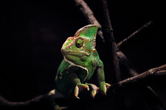 Chameleon jemensk - Veiled Chameleon (nickflyer) Tags: chameleon jemen
