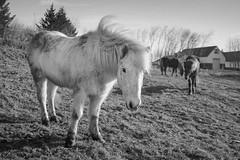 Icelandic Pony (Örlygur) Tags: horse monochrome animal iceland fuji pony selfoss icelandicpony bildekritikk x100s
