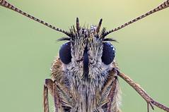 Thymelicus silvestris portrait (Cristian Arghius) Tags: macro butterfly insect skipper naturallight focusstack thymelicussilvestris zerenestacker rrstp243tripod schneiderkreuznachapocompononhm604 sonynex6 arcaswisscubetripodhead olympustelescopicautotube65116