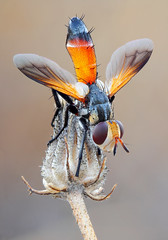 Cylindromyia rufifrons (Sebastin J.L) Tags: macro canon insect fly naturallight mosca reversedlens diptera macrophotography macrofotografa tachinidae extensiontubes cylindromyia 1000d konicahexanon40mm fieldstacking