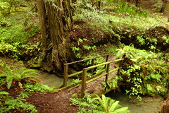 Bridge over un-troubled water (Redwood Reverence) Tags: california bridge trees green water creek forest humboldt woods stream redwoods