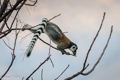 MarcTailly_mga20150824677.jpg (hayastanlover) Tags: animals lemur mammals madagascar dieren primates primaten zoogdieren
