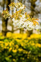 IMG_8706.jpg (vossemer) Tags: de deutschland jahreszeiten natur pflanzen blumen frhling blten niedersachsen lwenzahn jork frhjahr