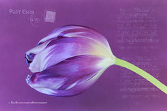 Musical Postcard (Kay Kochenderfer Photography) Tags: music flower nature purple tulip brushes purpletulip doublefantasy purplebackground texturedbackground musicalbrushes