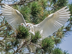 Snowy Egrets mating (vnelson) Tags: birds mating