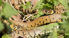 Grass Snake (Max Thompson Photography) Tags: uk wild england west nature grass slow reptile snake wildlife pair south group somerset mating worm levels avalon marshes shapwick