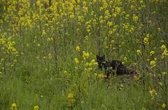 _DSC0165 agazapado (Rodo Lpez) Tags: espaa naturaleza spain flickr gatos explore amarillo gato animales sentimientos elbierzo castillayleon animalesdecompaia naturalezacautivadora castillayleonesvida animalesenelbierzo