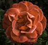 Hot Cocoa (Bill Gracey 17 Million Views) Tags: flower nature fleur rose garden flor rosa naturalbeauty softbox hotcocoa naturephotography macrolens directionallight offcameraflash floralphotography jimprice lastoliteezbox yongnuorf603n yn560iii