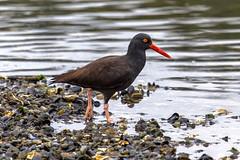 Oyster Catcher (Paul Rioux) Tags: bird beach nature shore oystercatcher gravel avian shorebird colwood westshore esquimaltlagoon