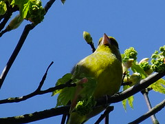 Well hidden Greenfinch (hope2029) Tags: trees west birds yorkshire leeds sunny greenfinch