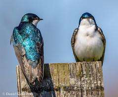 Tree Swallows (Tachycineta bicolor) (danielusescanon) Tags: wild pair maryland animalplanet treeswallow tachycinetabicolor lakeartemesia birdperfect