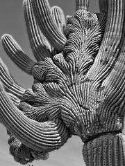 Crested saguaro along the Bajada Loop Nature Trail, Sabino Canyon (Distraction Limited) Tags: arizona cactus nature tucson coronadonationalforest catalinamountains saguaros catalinas sabinocanyon santacatalinamountains carnegieagigantea carnegiea crestedcactus crestedsaguaros carnegieagiganteafcristate earthnaturelife cristatecactus bajadaloopnaturetrail sabinocanyon20160406