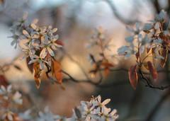 Sunrise (mennomenno.) Tags: sunrise spring rotterdam blossom lente bloesem zonsopkomst krenteboompje