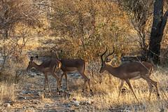 Kudu's - Etosha - Namibia (wietsej) Tags: wild animal sony namibia 70200 etosha landsape kudus a900 sal70200g