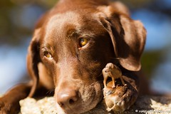 A Mini-Shyla on her Paw (KB RRR) Tags: dog colorado rockymountains frontrange chocolatelabrador shyla