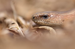 Slow worm (Mike Mckenzie8) Tags: uk wild macro closeup spring head reptile wildlife frond lizard british bracken herp legless anguis fragilis