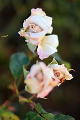 Rose Buds and Bee (Mademoiselle Mermaid) Tags: california pink roses rose spring gardening santamonica rosebud bee rosegarden springflowers rosebuds palepink lightpink springthings mademoisellemermaid