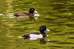 Zwergtaucherpaar (Bluespete) Tags: bird nikon wiesbaden natur psi fc vogel biebrich blaesshuhn zwergtaucher d7100 vogelfotografie schlospark petersieling 6322425 32143153 bluespete zwergtaucherpaar