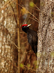 Dryocopus martius (Basse911) Tags: tree bird suomi finland spring april nordic puu trd vr fgel lintu kevt blackwoodpecker dryocopusmartius huhtikuu palokrki spillkrka