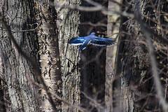 Blue Jay flying away (runningman1958) Tags: bird nature spring nikon wing bluejay 365 wingspan avian merbleu 365dayproject d7200 merbleuconservatoryarea nikond7200